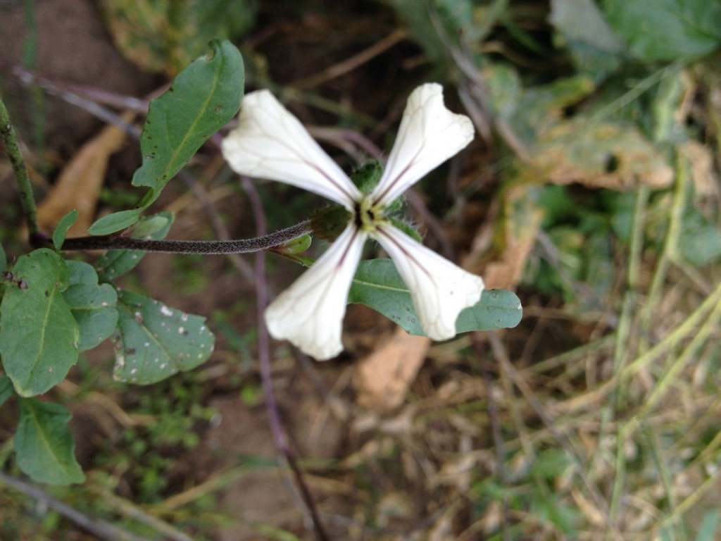 Arugula Flower Garden