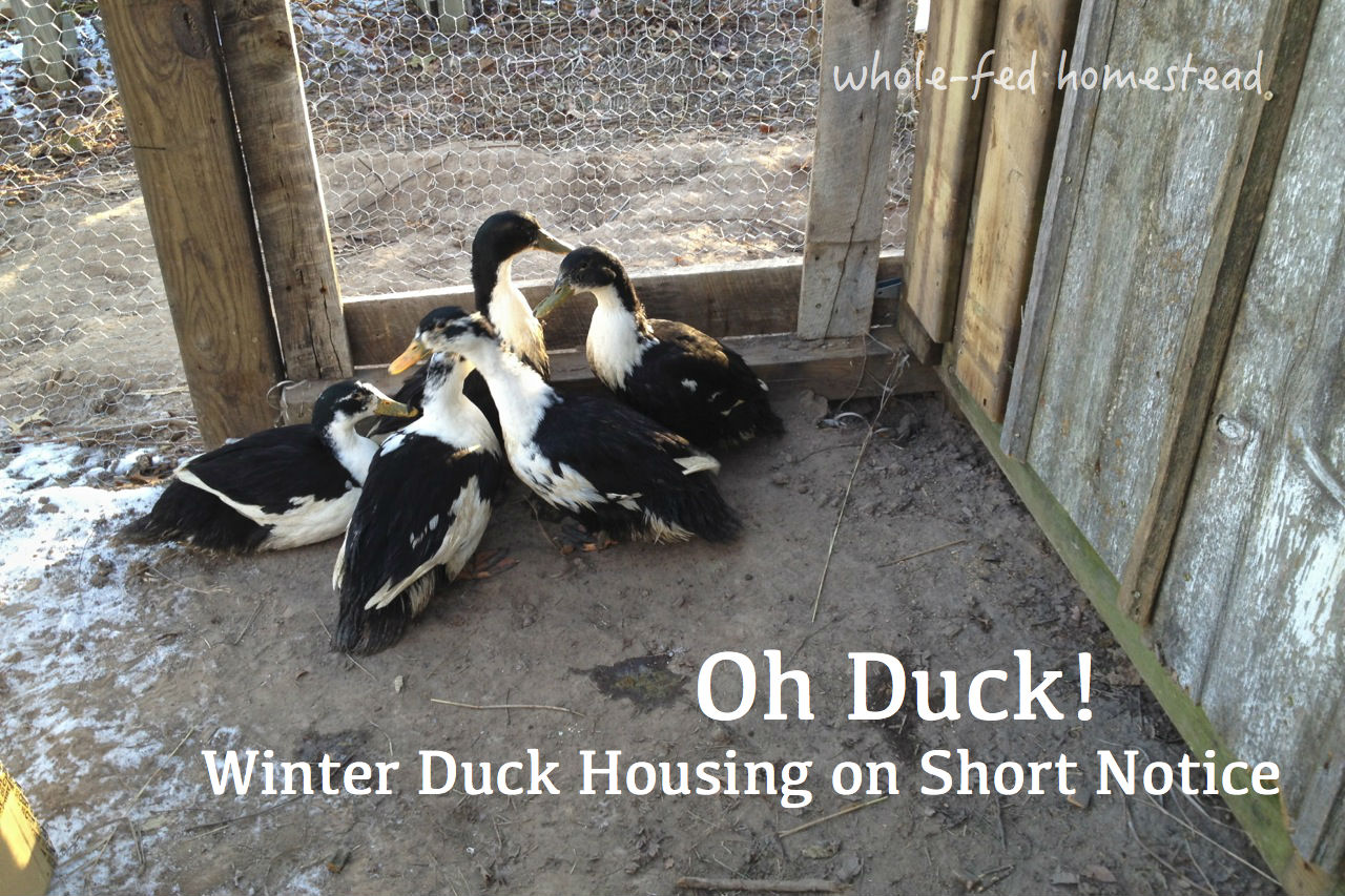 Oh duck whole fed homestead for Winter duck house