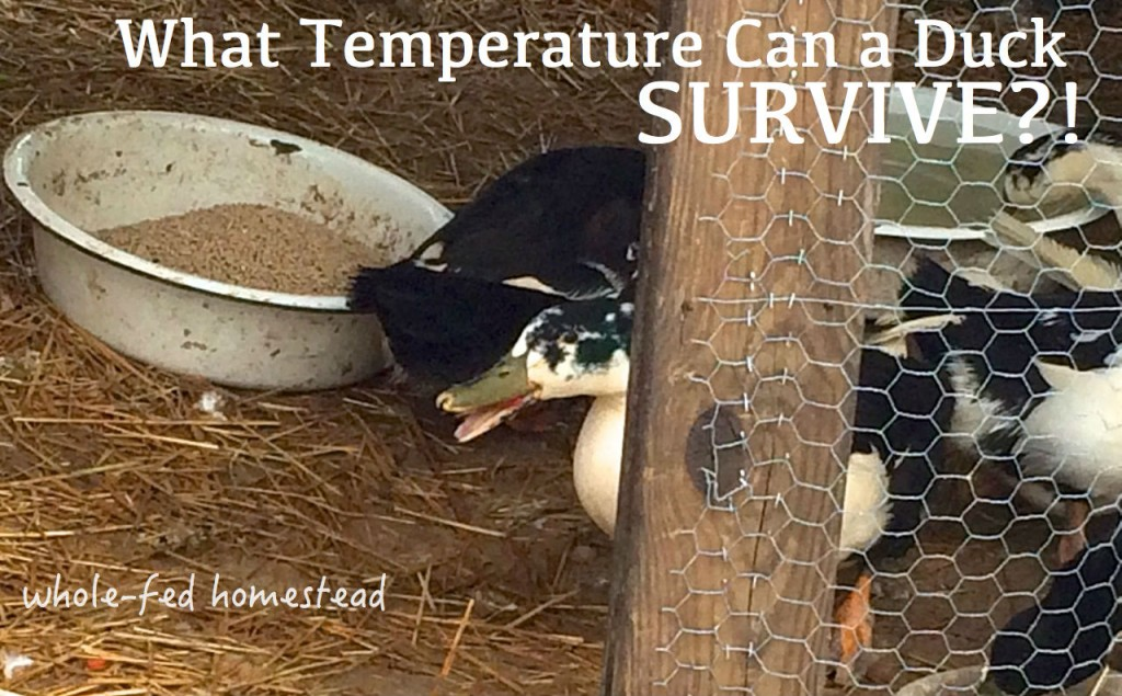 what temperature can ducks survive?