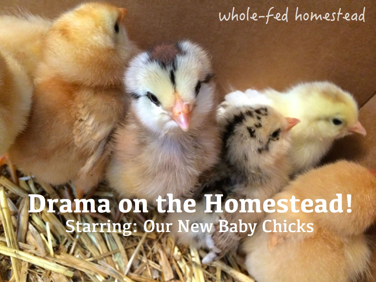 Drama on the Homestead: Baby Chick Delivery