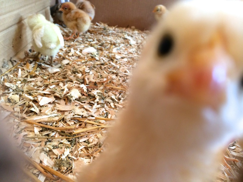 chick close up