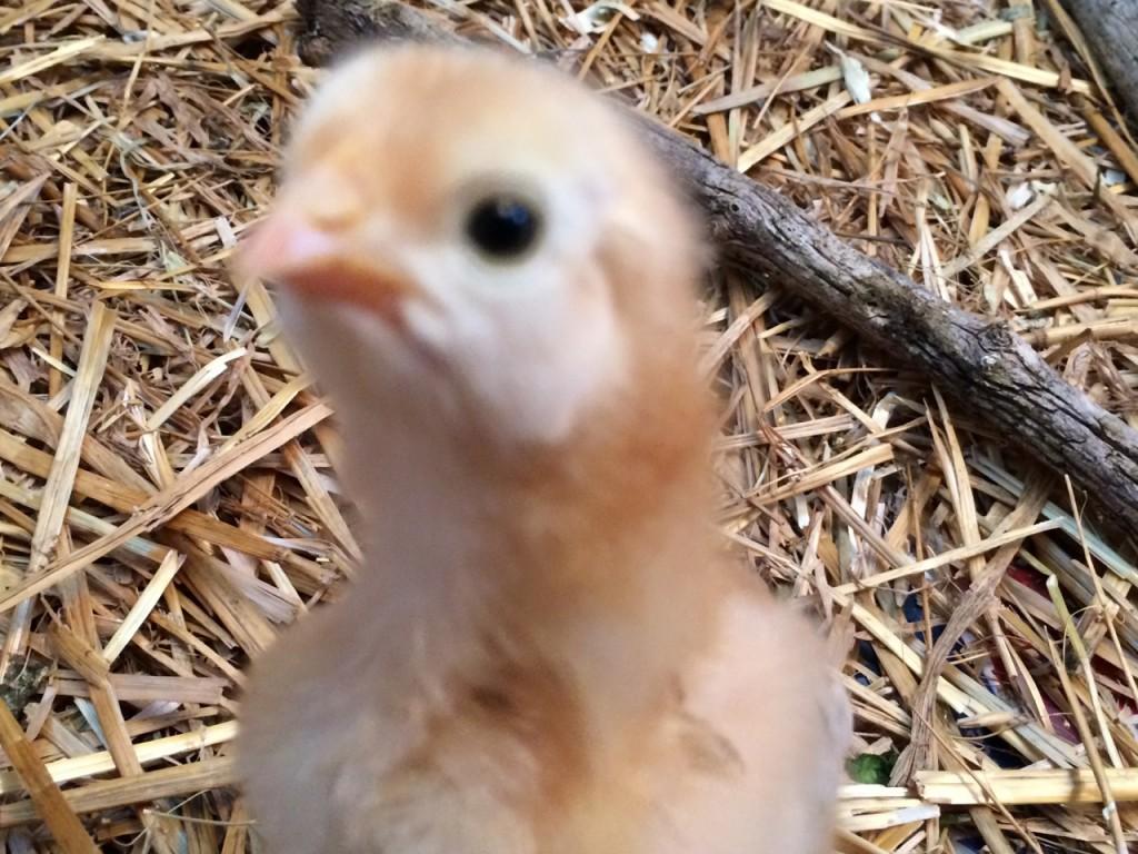 chick outtake 1