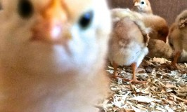 how to raise care for baby chicks