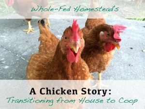 A Chicken Story: Transitioning from House to Coop