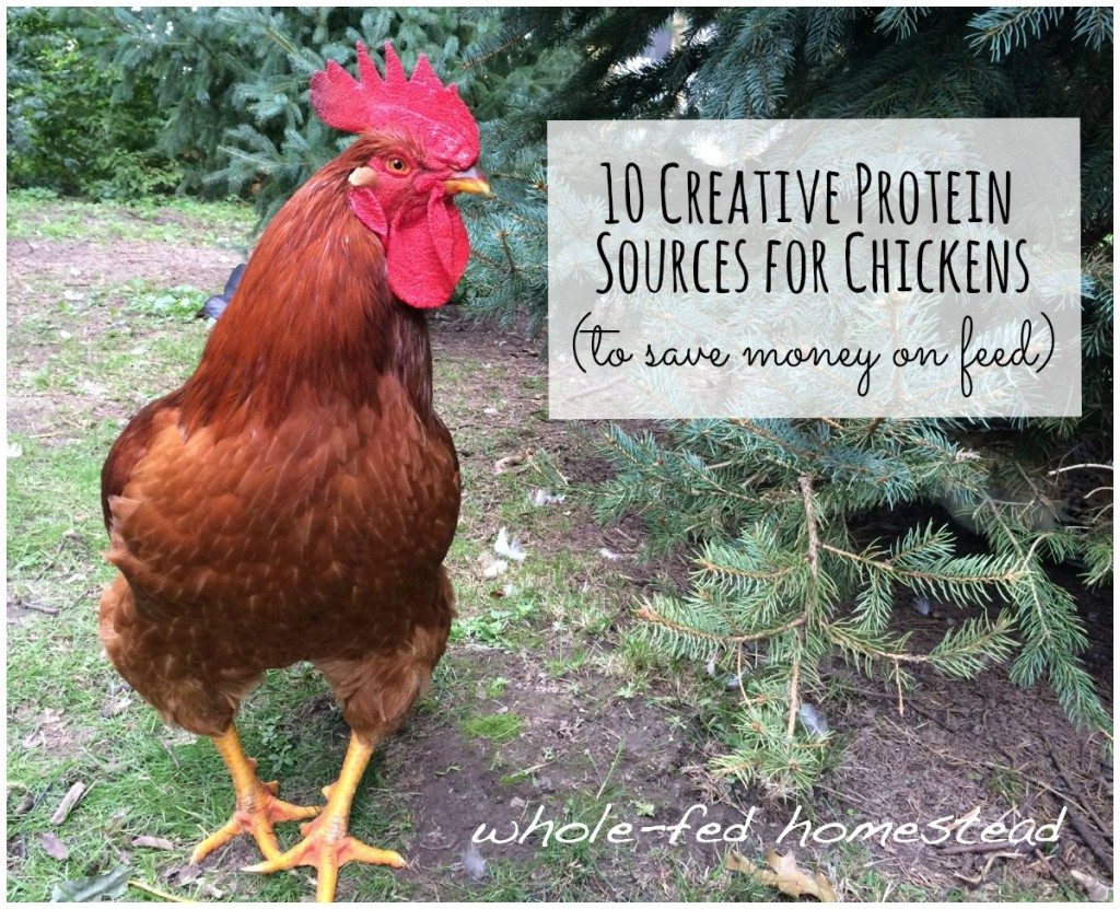 10 Creative Protein Sources for Chickens, Whole-Fed Homestead, How to Save Money on Chicken Feed