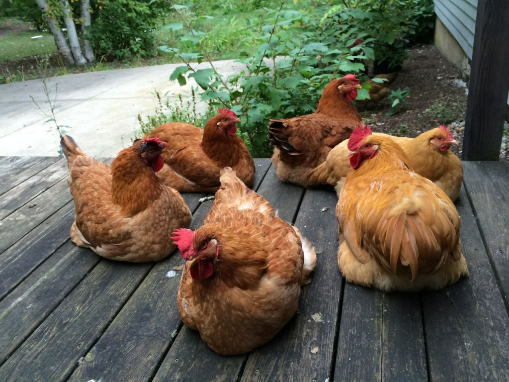 Chickens circle