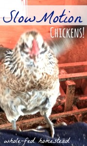 Chickens in Slow Motion