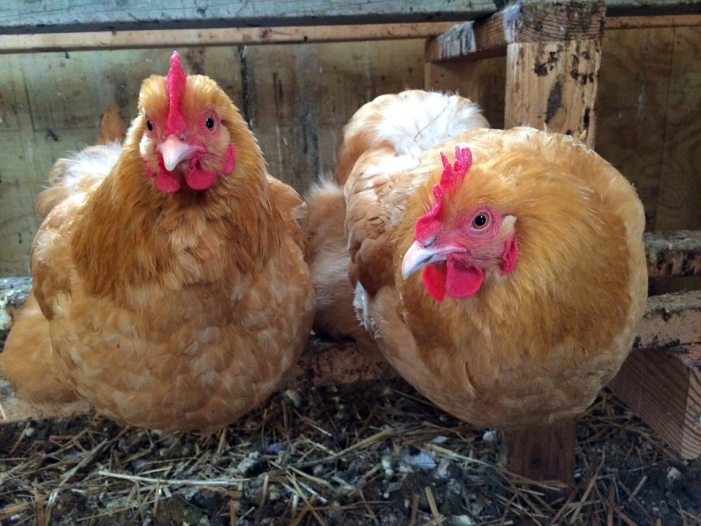 Buffs in Winter, Whole-Fed Homestead: The Homestead Monthly: February & March- a farm update.