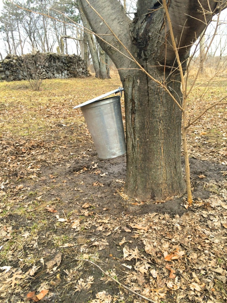 Metal maple bucket: Small Batch Maple Syrup-Making: You Only Need 1 Tree! How to make maple syrup at home without sugar maples. Whole-Fed Homestead