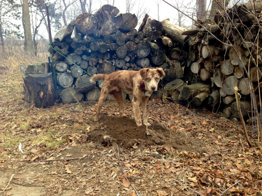 Quinn helps make maple: Small Batch Maple Syrup-Making: You Only Need 1 Tree! How to make maple syrup at home without sugar maples. Whole-Fed Homestead