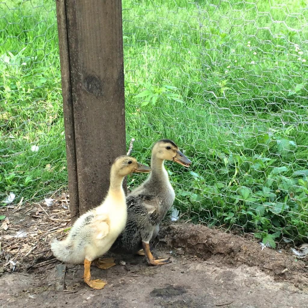 Little ducks 4 months