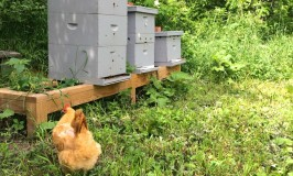 Raising Chickens and Honey Bees Together