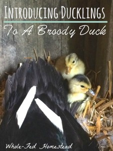 Introducing Ducklings to a Broody Duck