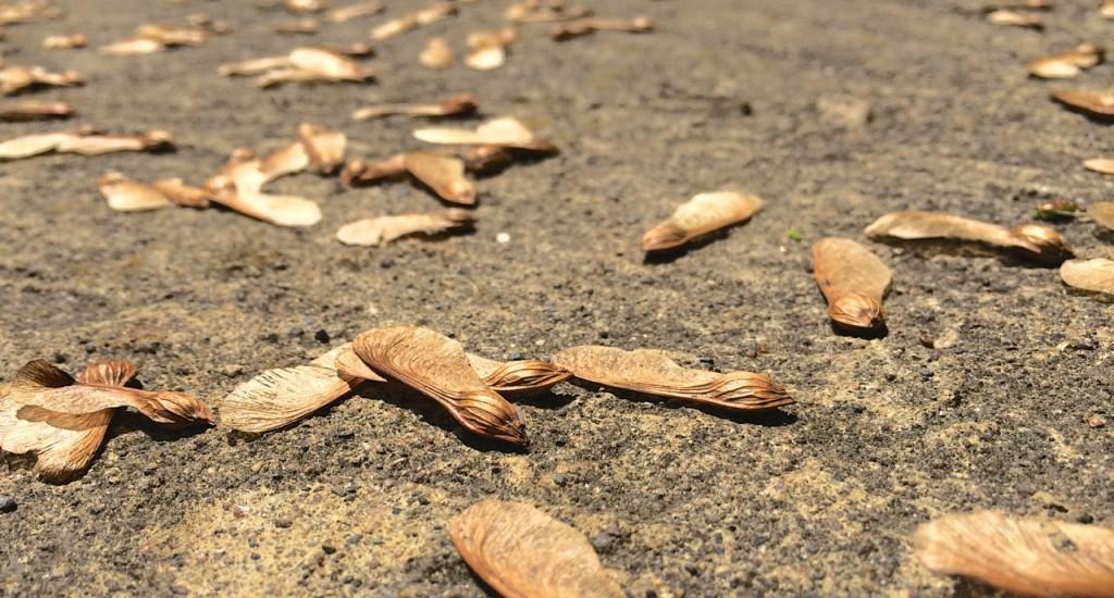 maple seeds on ground
