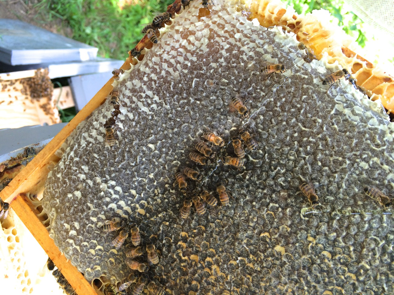 Honey comb dripping, How to Find the Highest Quality Raw Honey - Advice from a Beekeeper | Whole-Fed Homestead