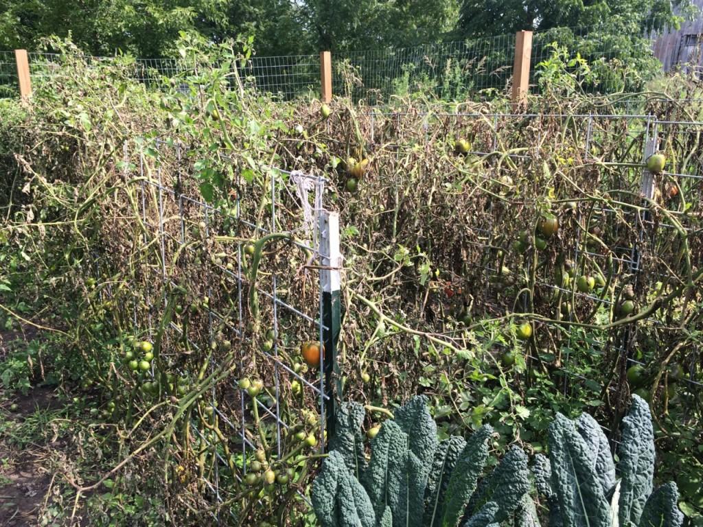tomato destruction; Homestead Monthly August 2015: chickens, ducks, turkeys, backyard garden, preserving the harvest, honey bees, and wild edibles!