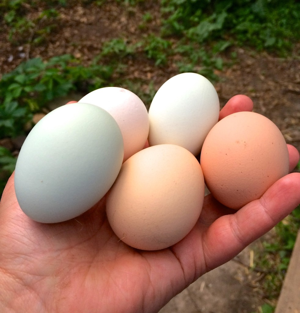 Farm Fresh Eggs, Why Bother Homesteading - What is Homesteading | Whole-Fed Homestead