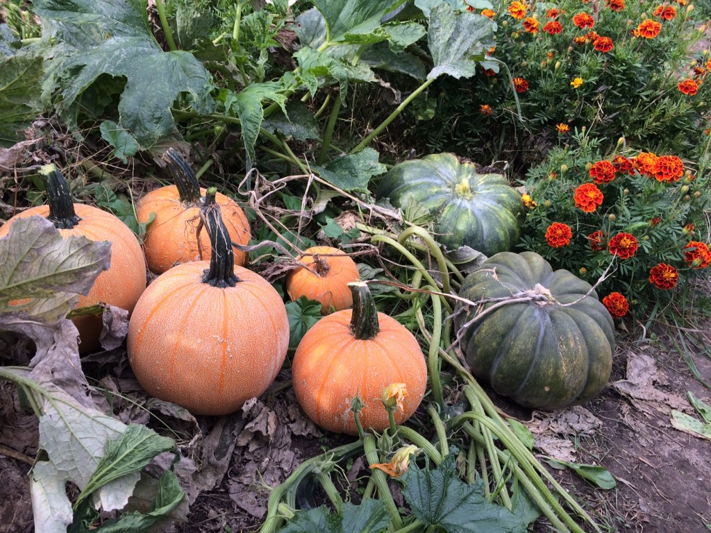 Part of the squash harvest, Our monthly homestead update! Egg-famine, preserving the harvest, planting, and basket-making... there's always a lot happening on the homestead! Whole-Fed Homestead