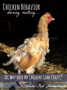 Chicken Behavior During Molting… or, Why Have My Chickens Gone Crazy?!