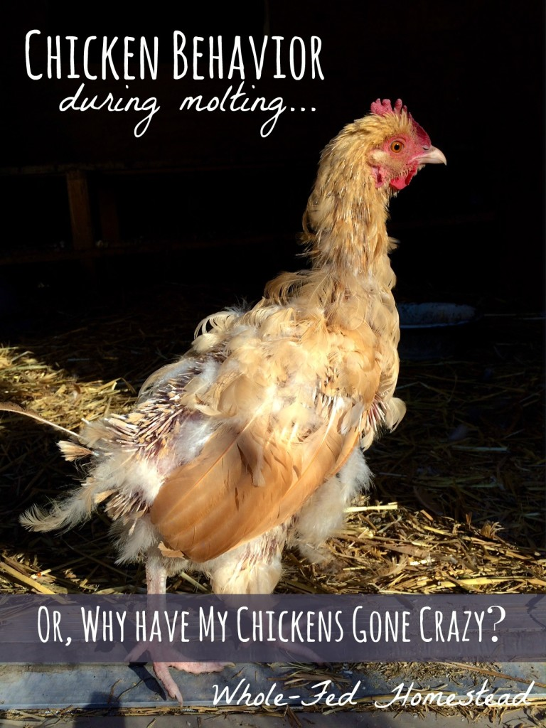 Chicken Behavior During Molting... or, Why Have My Chickens Gone Crazy?! Strange and odd behavior during a molt.   Whole-Fed Homestead
