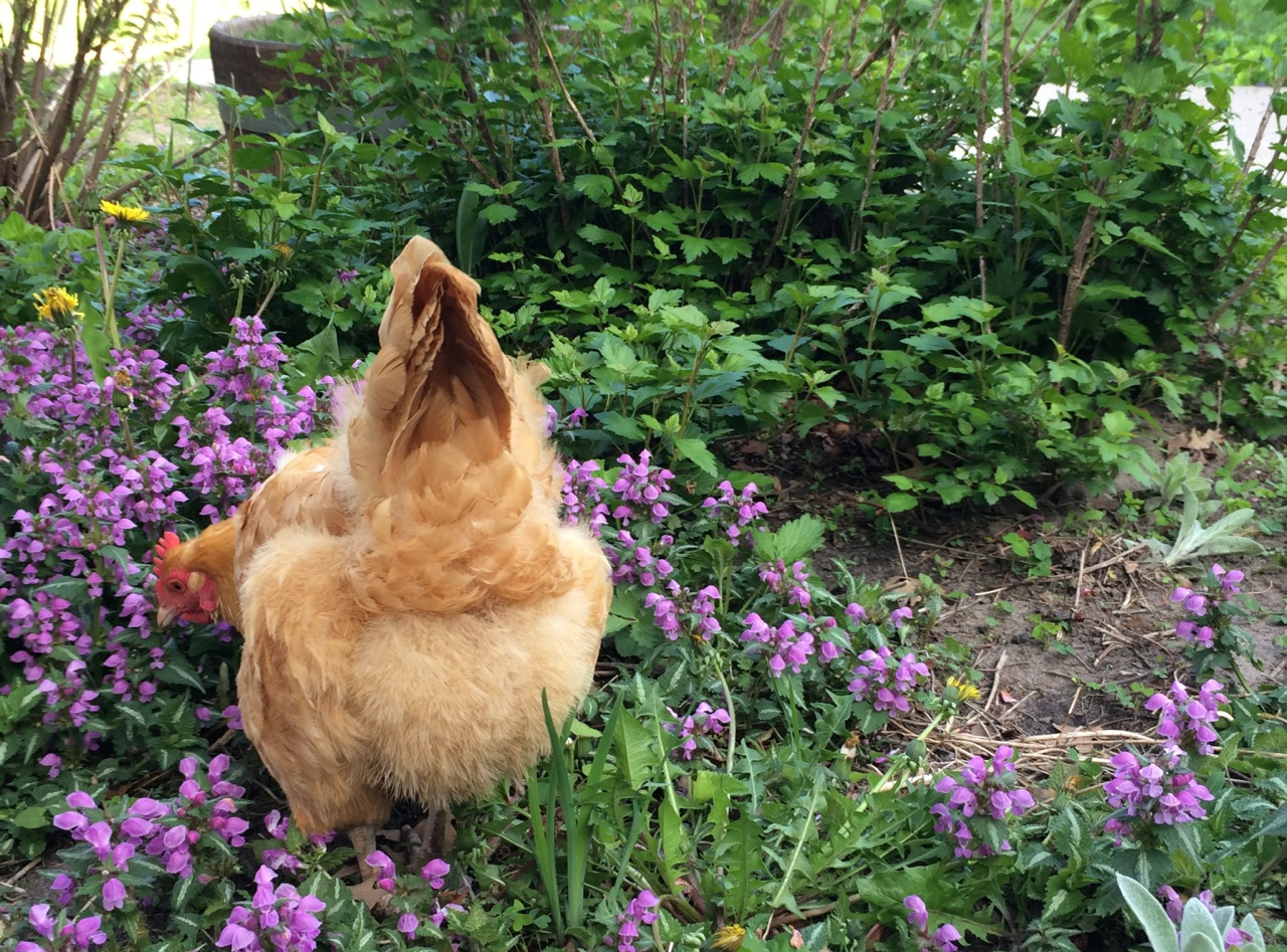 Gardening with Chickens by Lisa Steele: Book Review | Whole-Fed Homestead