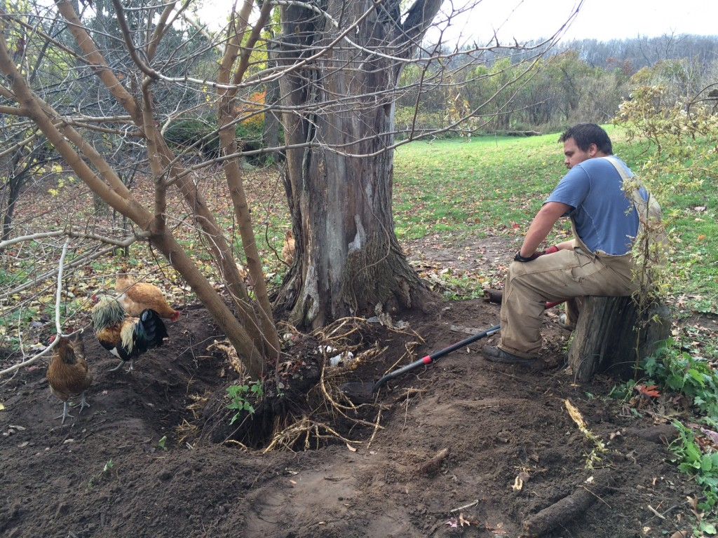 karl digging mulberry tree, Whole-Fed Homestead Monthly Update November 2015 | Gardening - Chickens - Ducks - Foraging - Real Food
