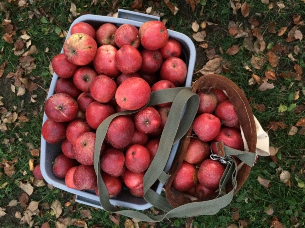 baskets bushels of apples, Whole-Fed Homestead Monthly Update November 2015 | Gardening - Chickens - Ducks - Foraging - Real Food