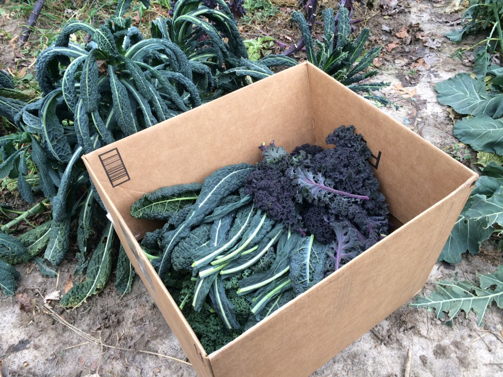 harvesting kale, Whole-Fed Homestead Monthly Update November 2015 | Gardening - Chickens - Ducks - Foraging - Real Food