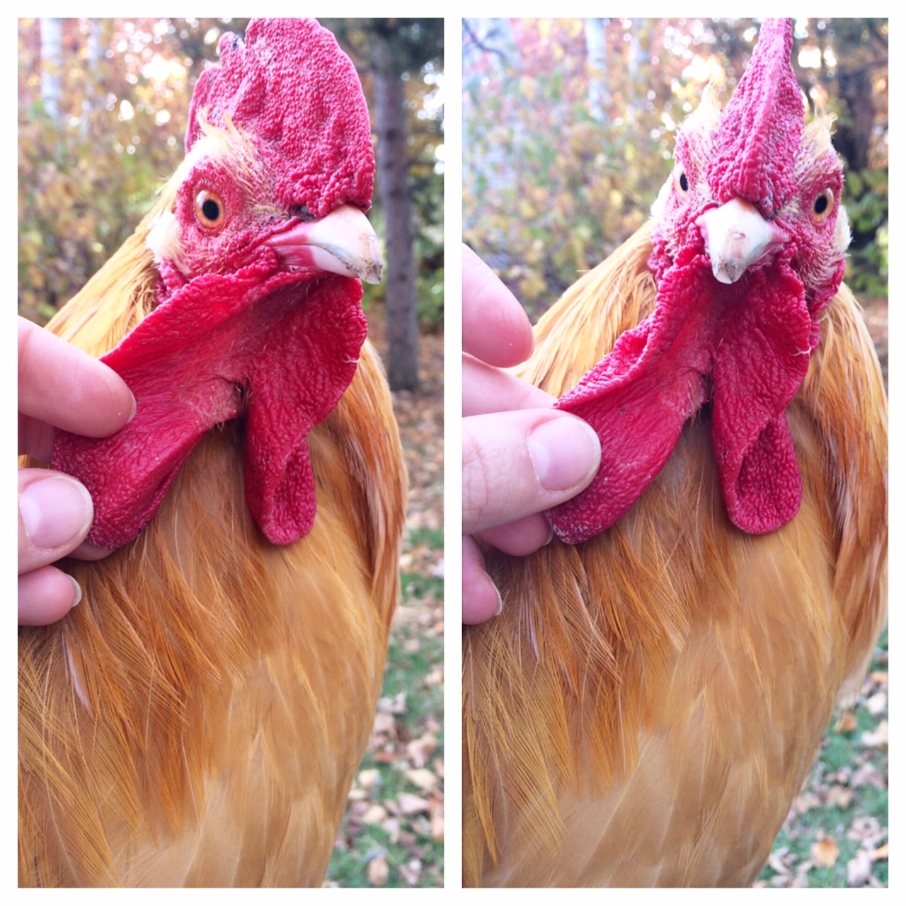 Bolivar wattles, The Loneliest Rooster: A Chicken Story. Do chickens get lonely? | Whole-Fed Homestead