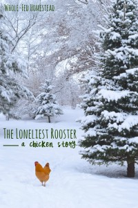 The loneliest rooster feature image final