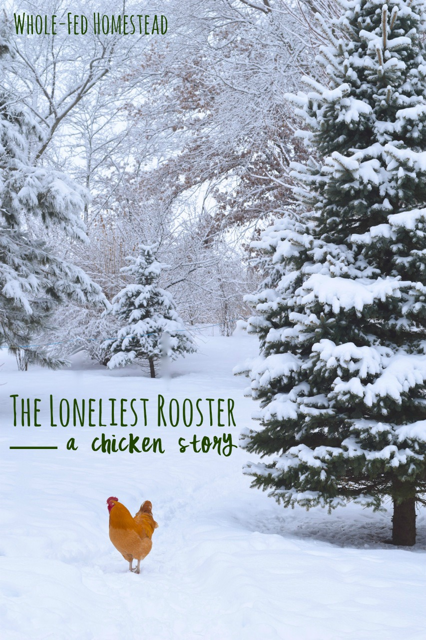 The Loneliest Rooster: A Chicken Story. Do chickens get lonely? | Whole-Fed Homestead
