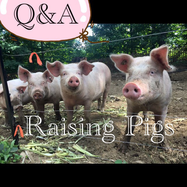 pig questions and answers, Welcome friends and fellow homesteaders! Link your posts on anything homestead related! Handmade, DIY, livestock, backyard chickens, wholesome recipes!