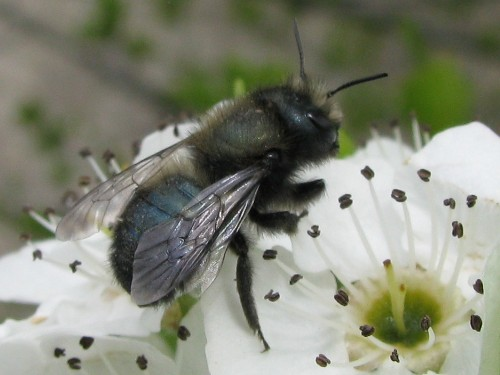 Guest Post: Everything You Need to Know About Orchard Mason Bees