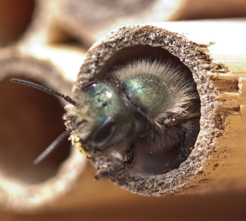 Guest Post: Everything You Need to Know About Orchard Mason Bees | Whole-Fed Homestead