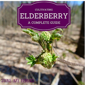 Cultivating elderberry
