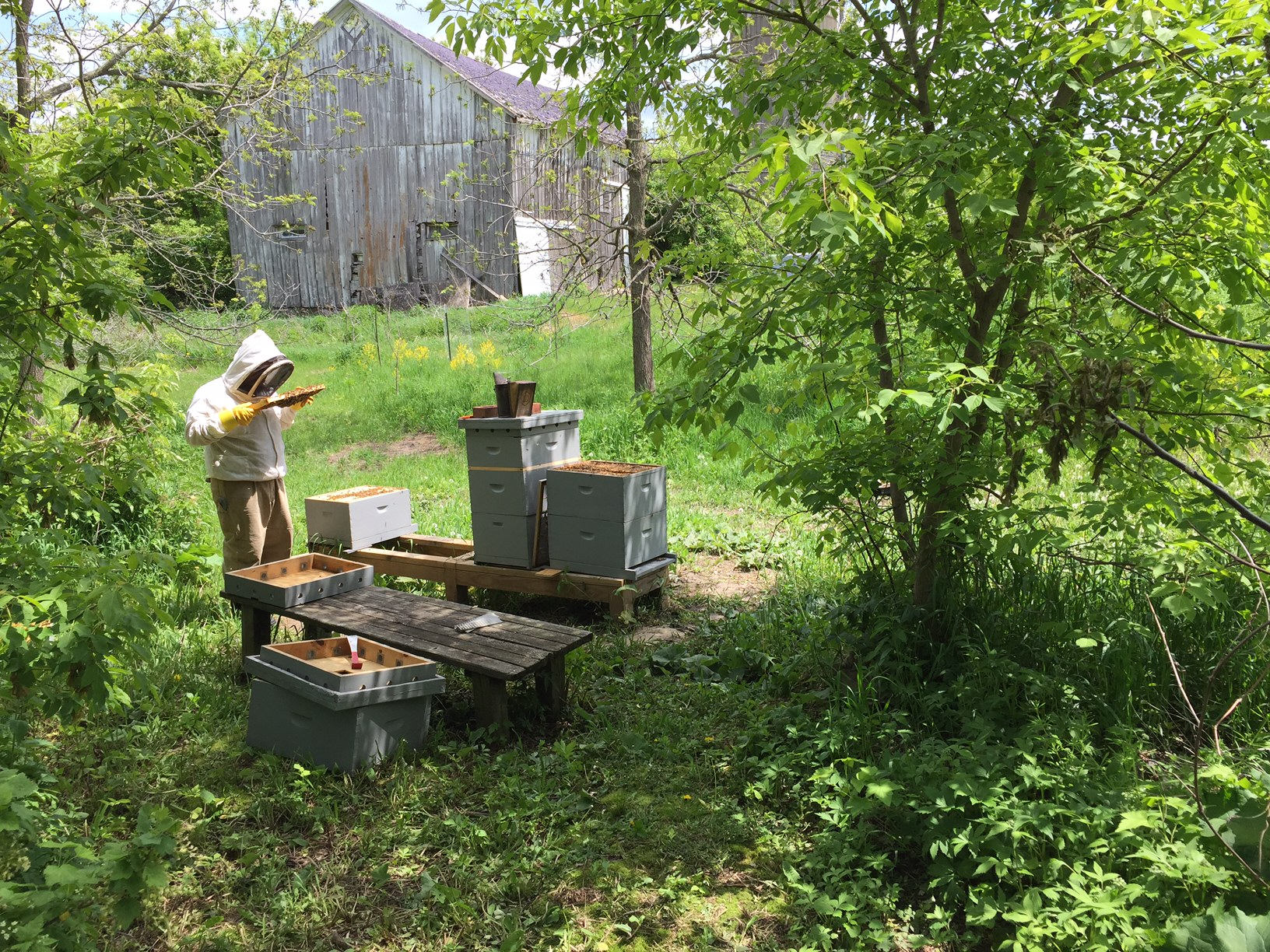 Artificial swarm honey bees, Homestead Monthly: May 2016 {mushroom growing, bee swarms, and homestead loss} | Whole-Fed Homestead