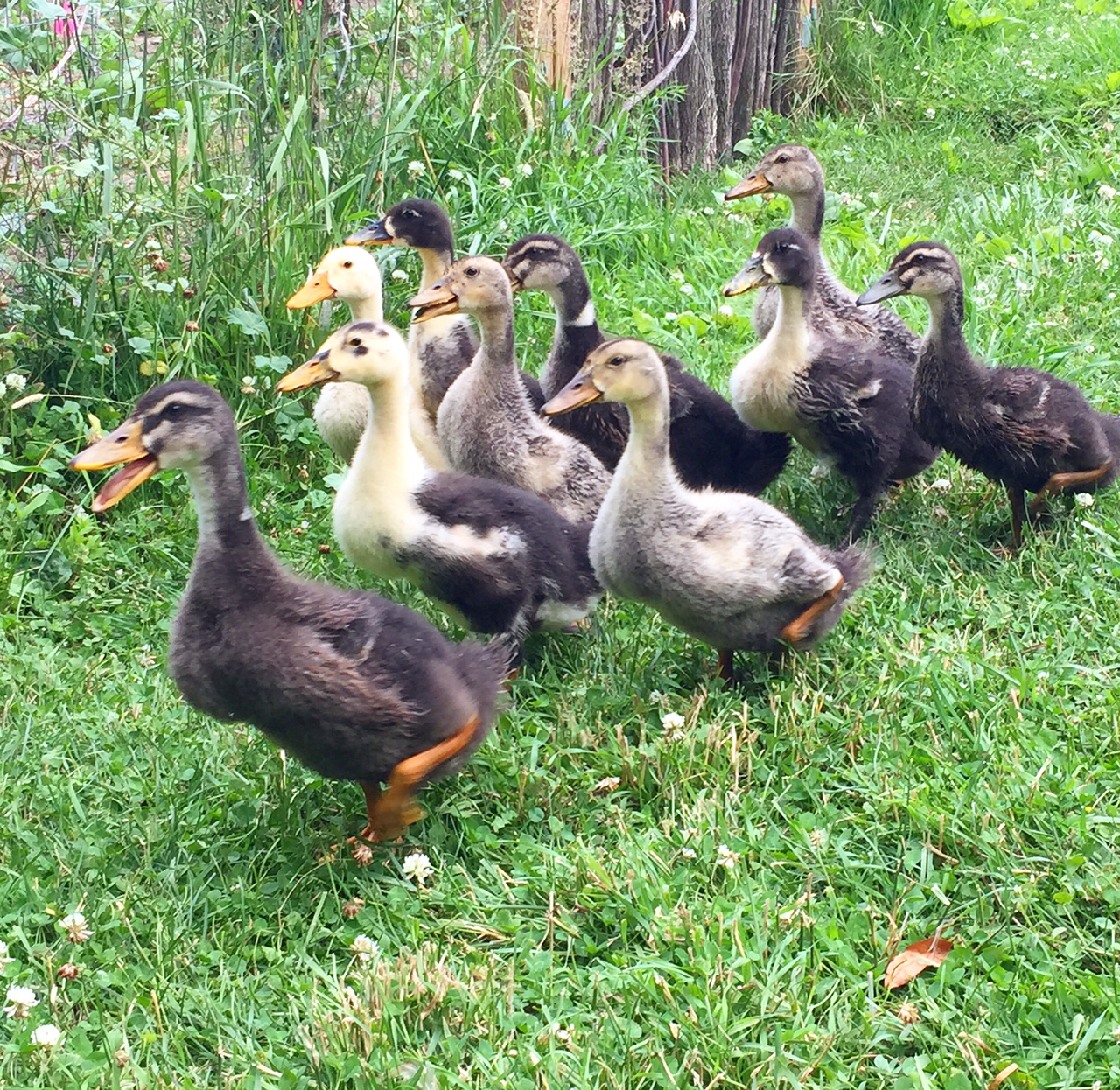 baby ducks 1 month