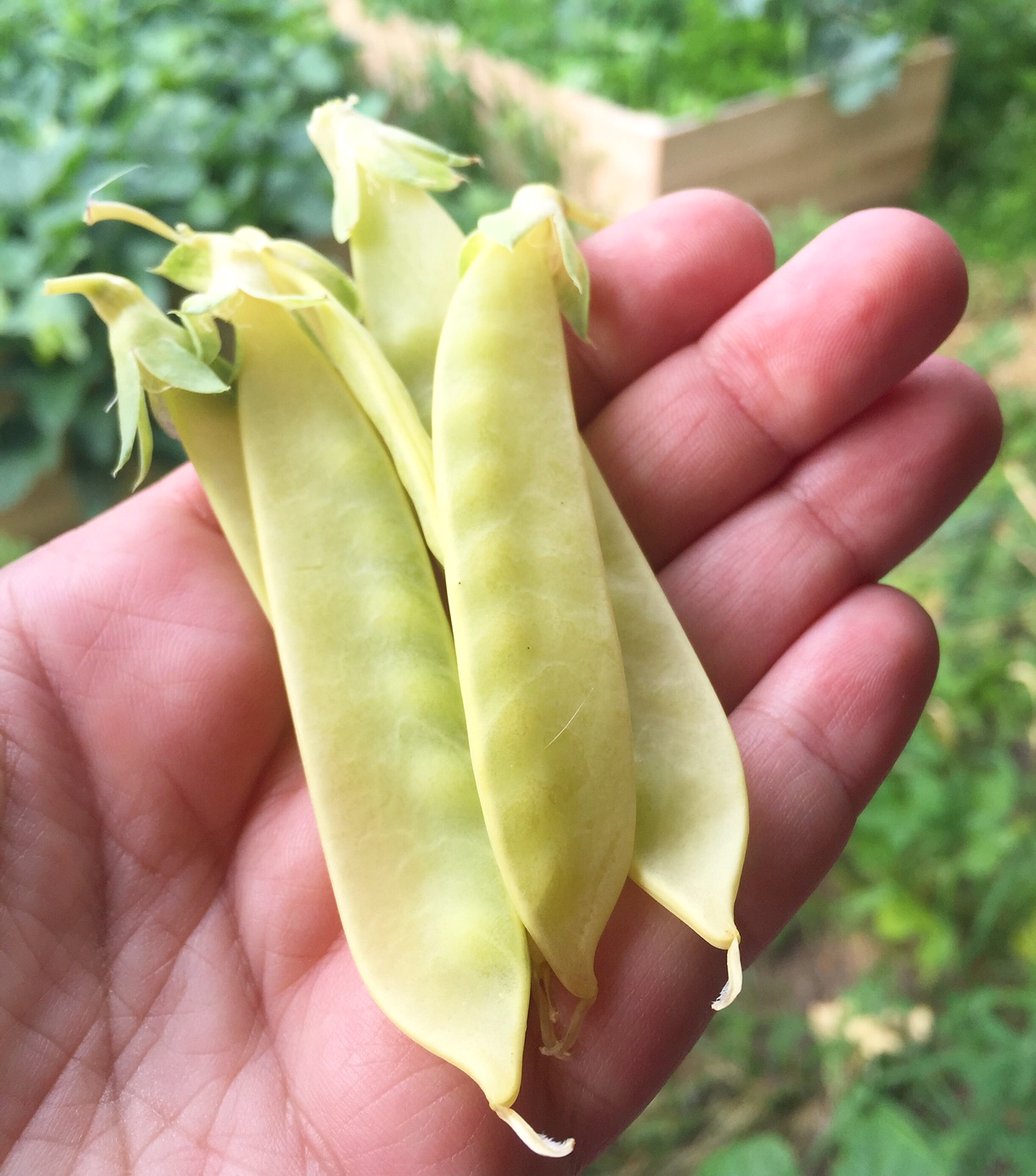 Golden pea pods yellow, Homestead Monthly: July 2016 {weasel trouble, chicks, and the great harvest begins}