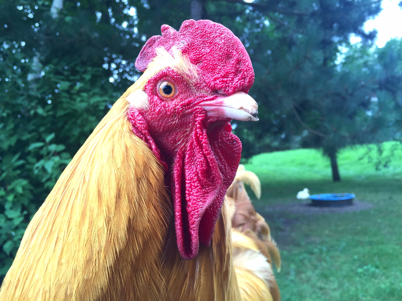 Bolivar rooster, Bolivar rooster, Super Gluing a Broken Chicken Beak, or...How I Became a Crazy Chicken Lady | Whole-Fed Homestead