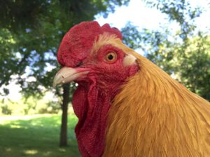 Super Gluing a Broken Chicken Beak, or… How I Became a Crazy Chicken Lady