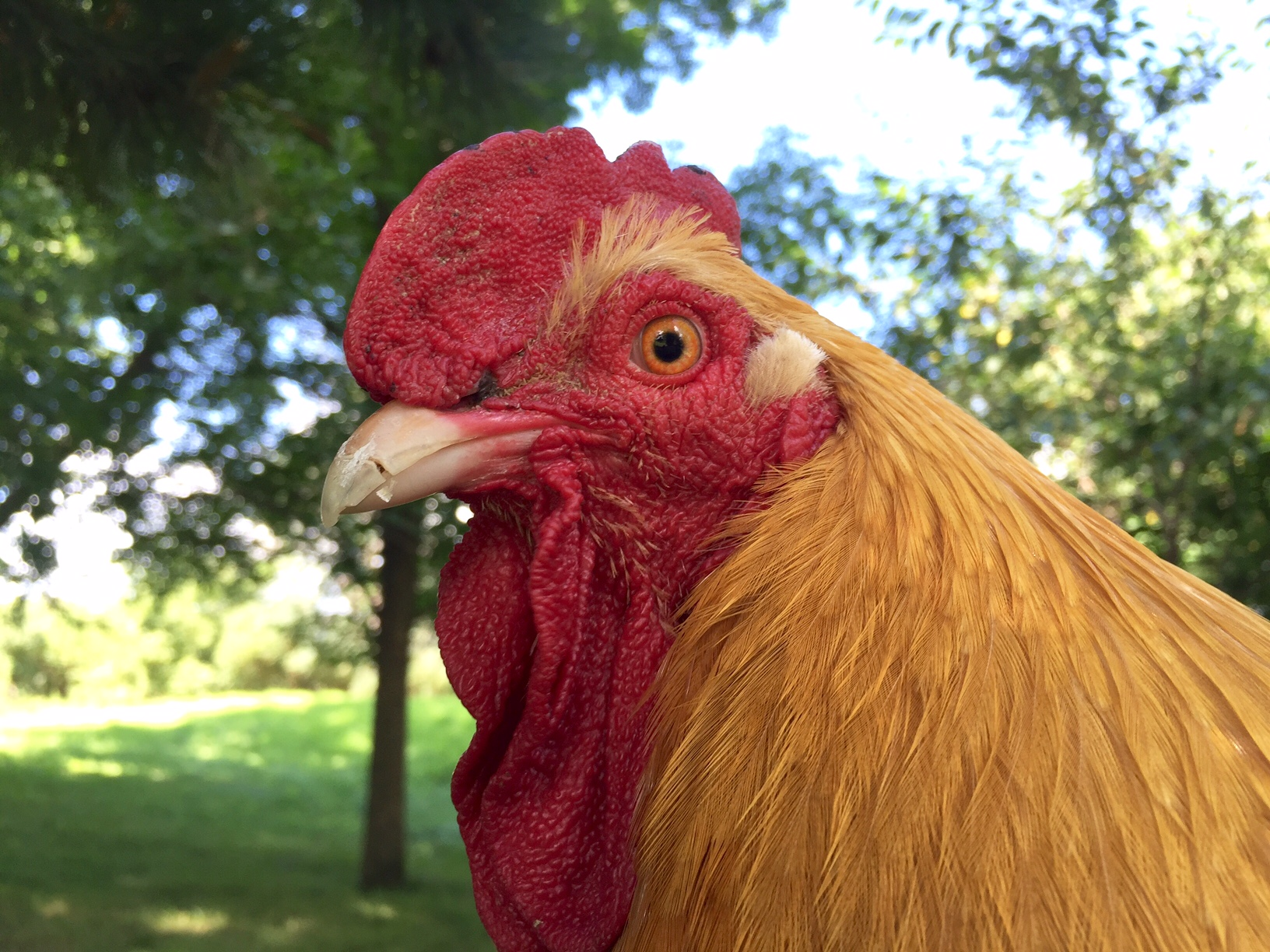 Bolivar rooster, Super Gluing a Broken Chicken Beak, or...How I Became a Crazy Chicken Lady | Whole-Fed Homestead