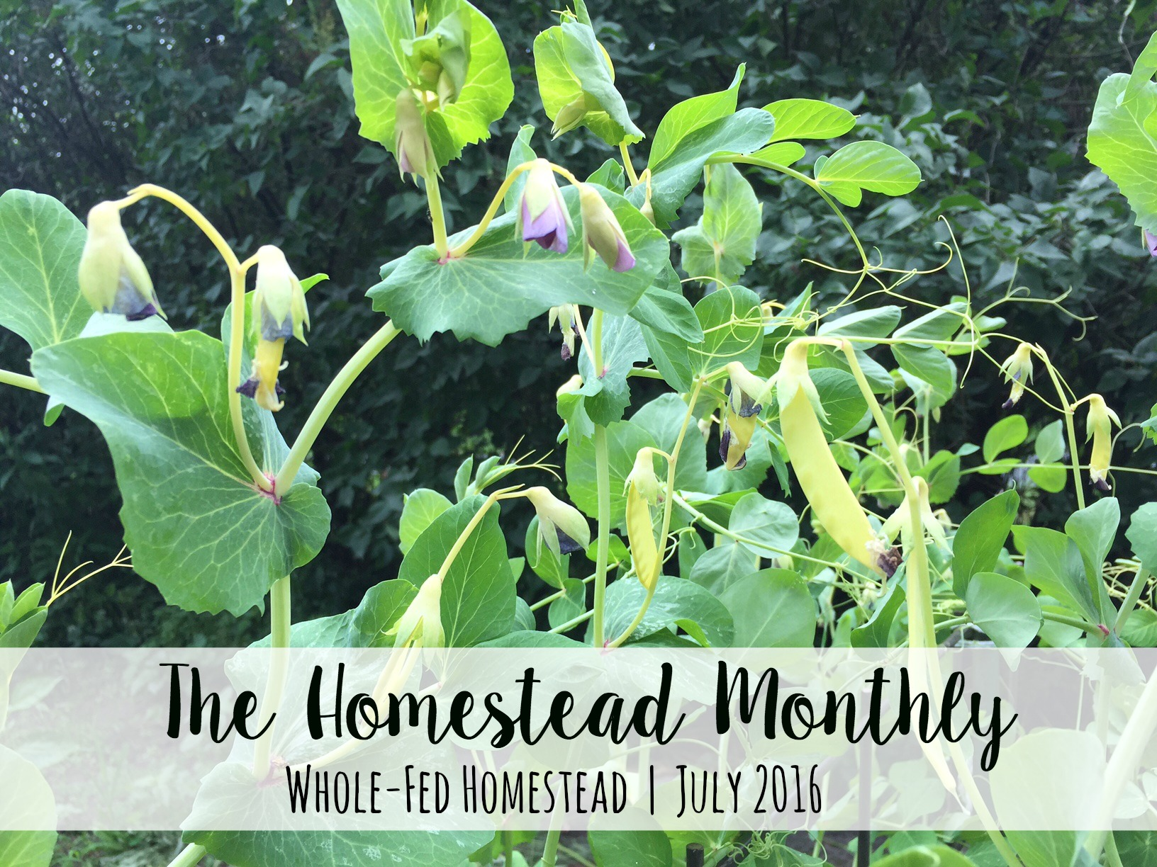 Homestead Monthly: July 2016 {weasel trouble, chicks, and the great harvest begins}
