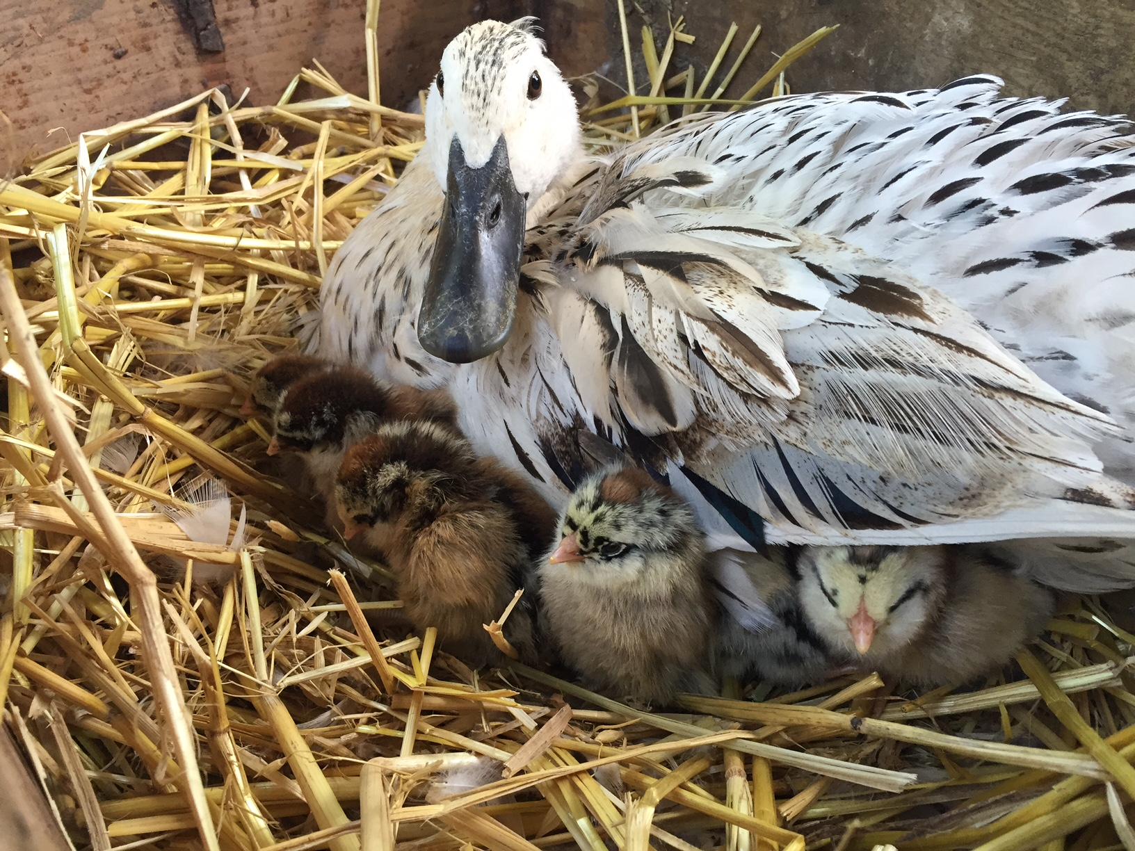Proud mother duck with chicks, Homestead Monthly: July 2016 {weasel trouble, chicks, and the great harvest begins}