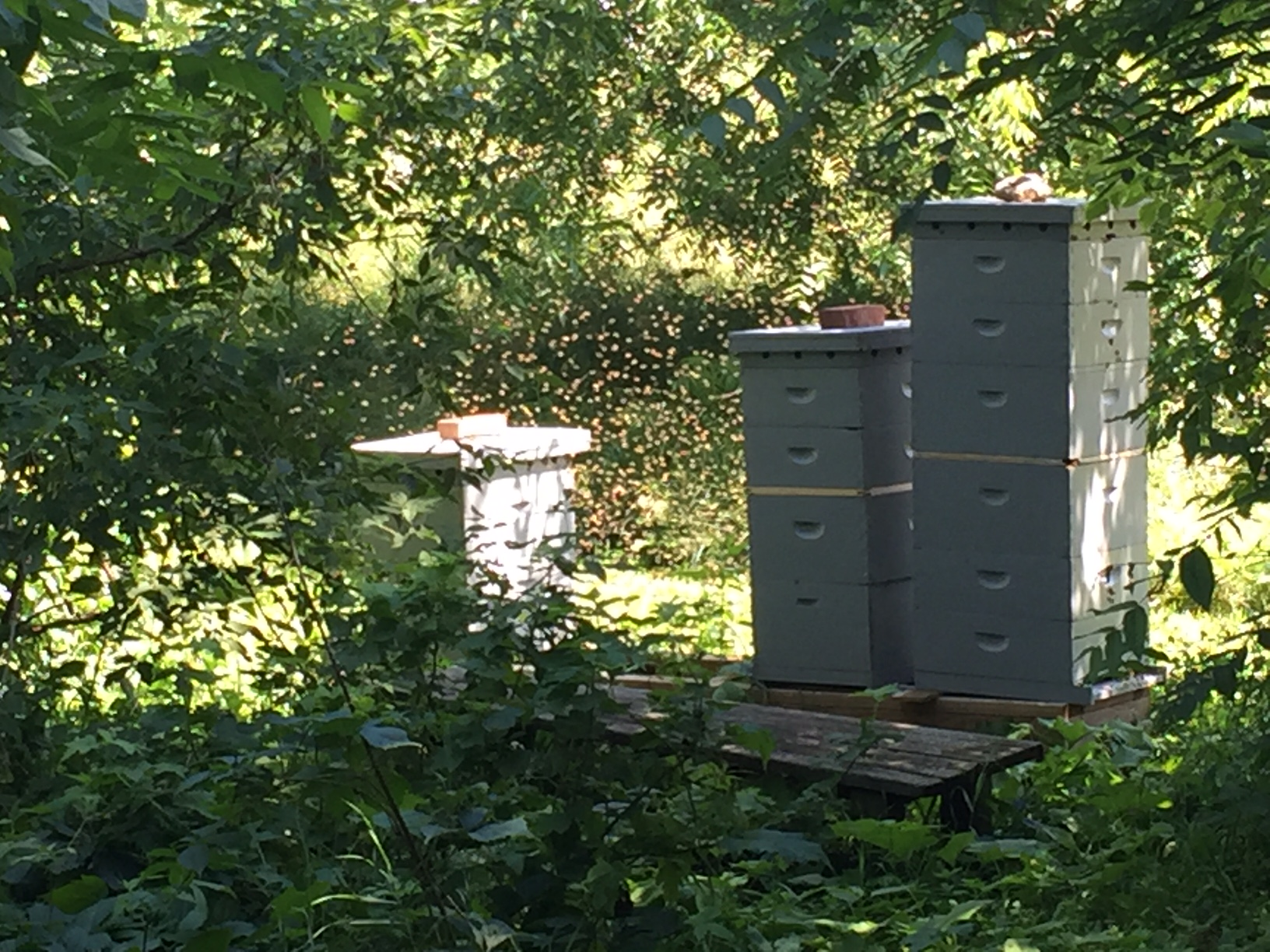bees swarming, Homestead Monthly: July 2016 {weasel trouble, chicks, and the great harvest begins}