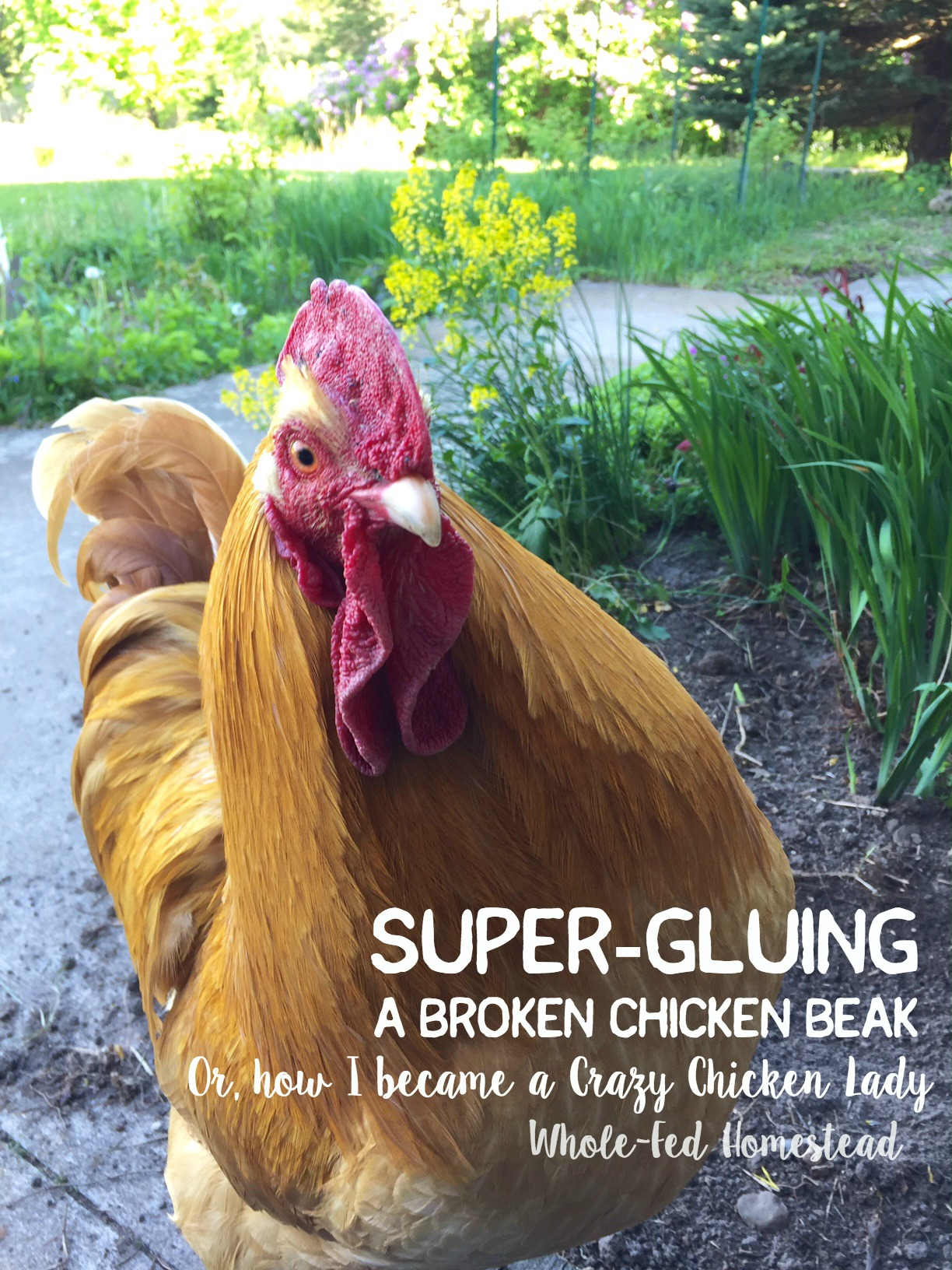 Super gluing a broken chicken beak