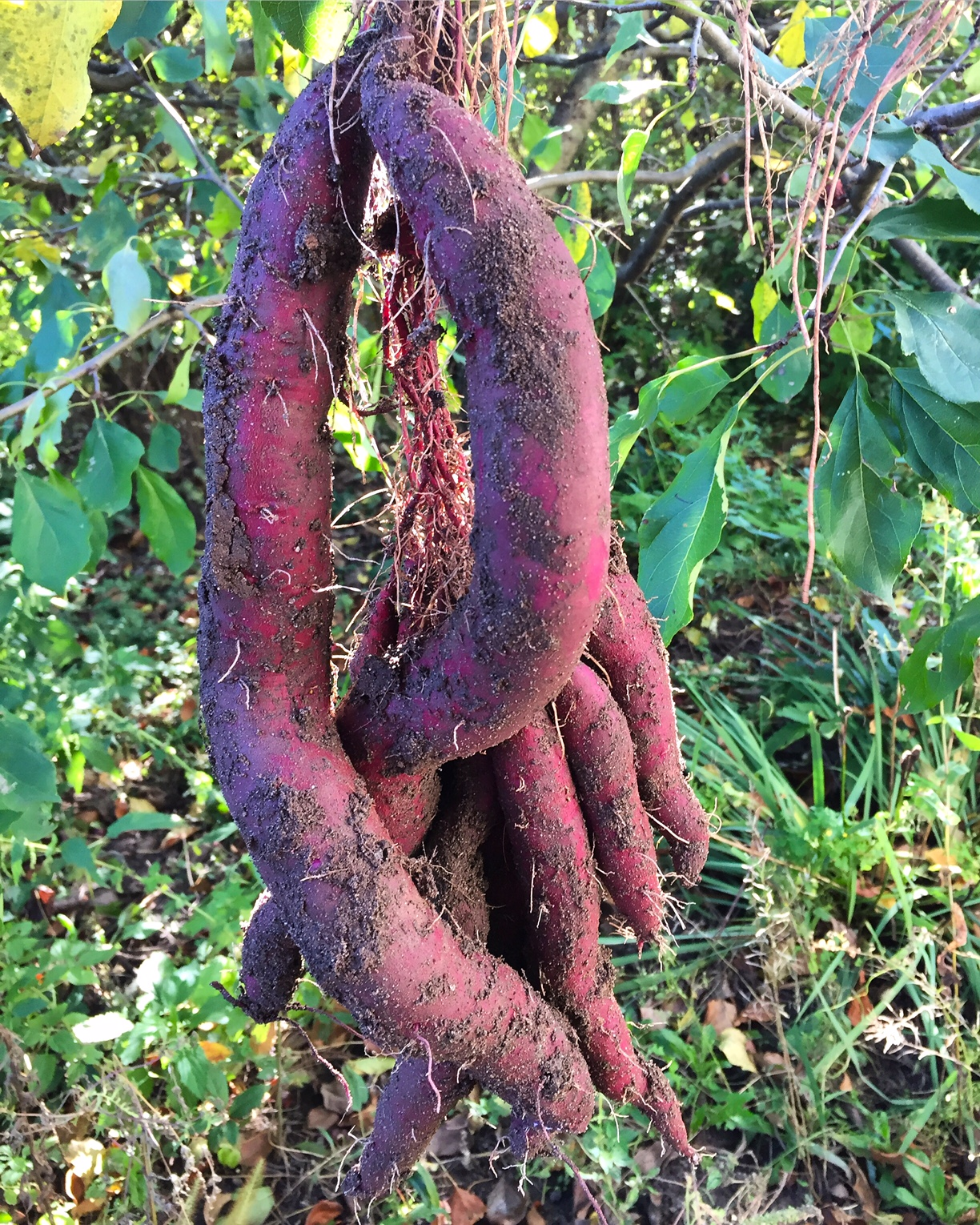 Purple sweet potatoes zone 4, Homestead Monthly: September 2016 {purple veggies, mushroom hunting, and canning} | Whole-Fed Homestead