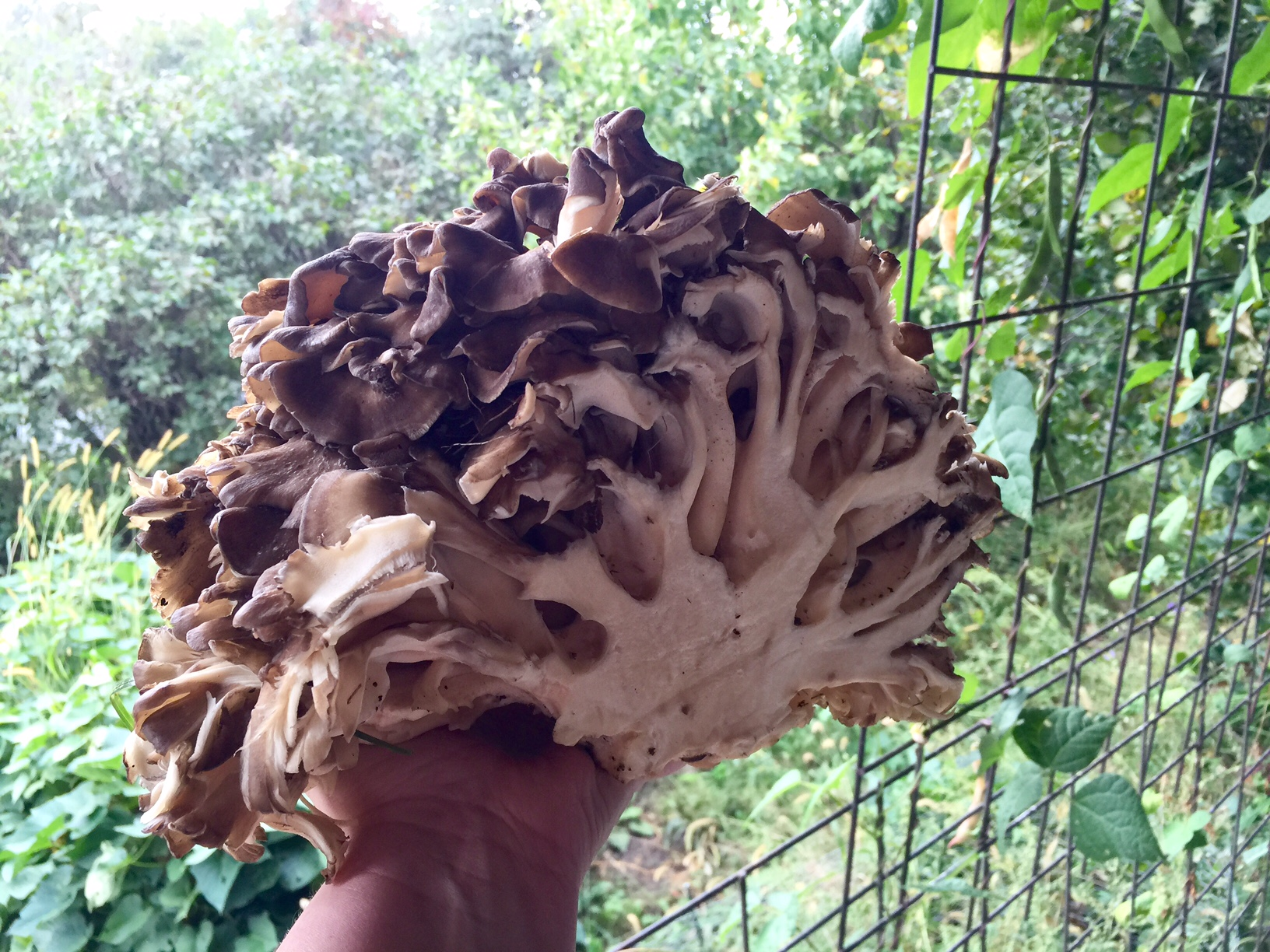 Hen of the woods, Homestead Monthly: September 2016 {purple veggies, mushroom hunting, and canning} | Whole-Fed Homestead