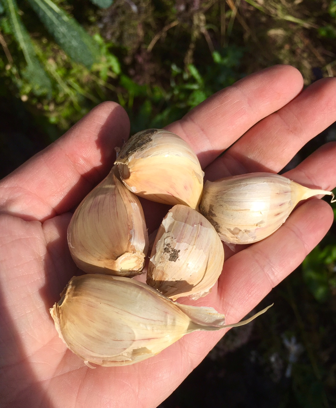 Planting Pink Music Garlic, Homestead Monthly: October 2016 {shiitakes, rare apples, and an unfortunate honey harvest} | Whole-Fed Homestead
