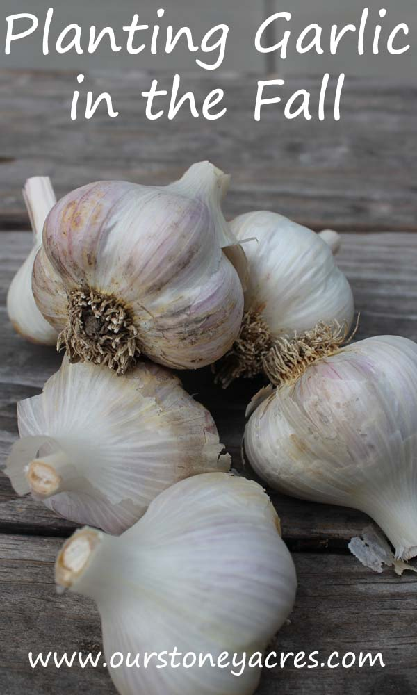 planting-garlic-in-the-fall
