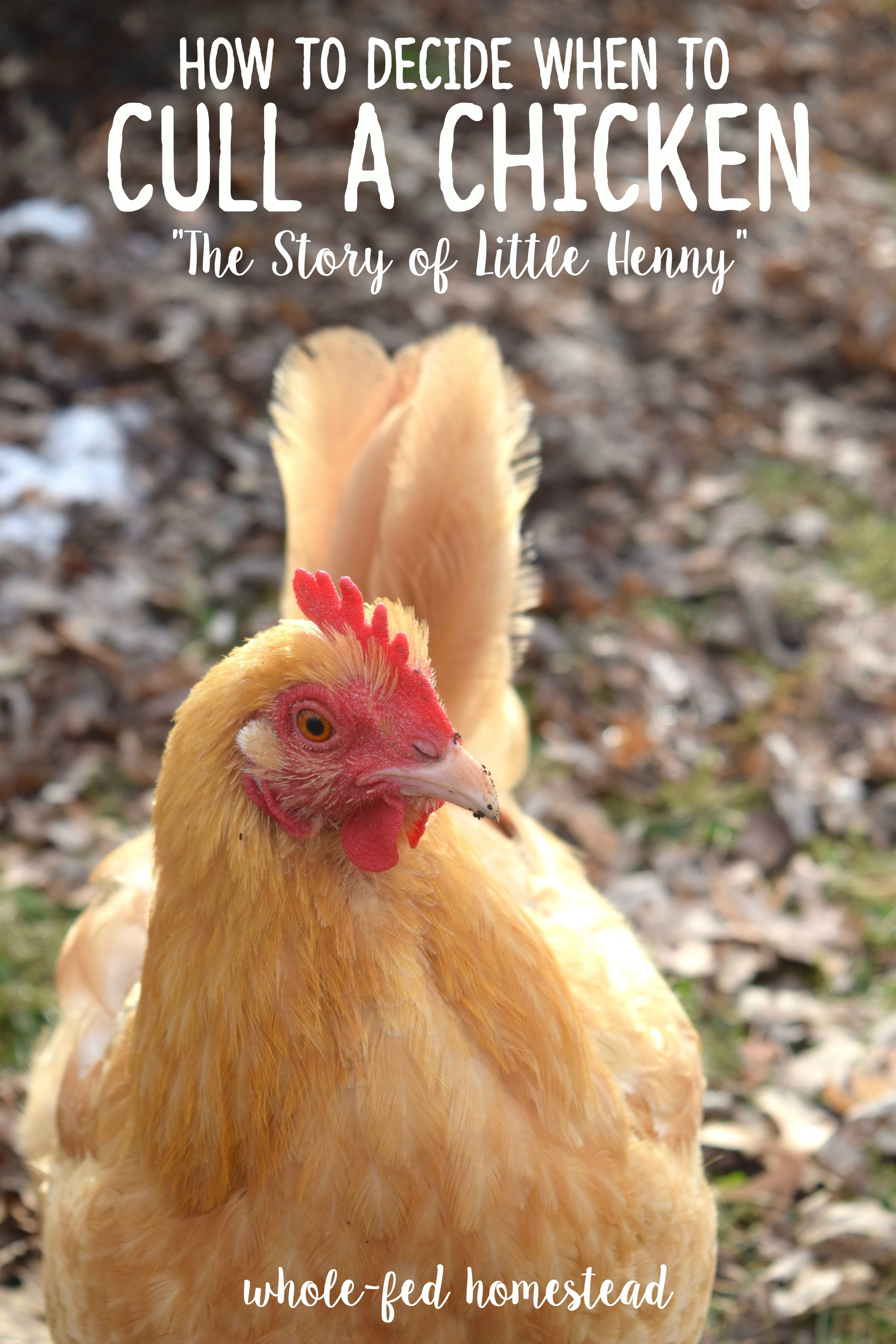 How to Decide when to Cull a Chicken {The Story of Little Henny} Whole-Fed Homestead